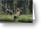 Wild Rivers Greeting Cards - Two Moose Cross Gibbon River To Forage Greeting Card by Gordon Wiltsie