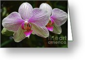 Moth Orchids Greeting Cards - Two Orchids Greeting Card by Bette Phelan