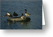 Environmental Damage Greeting Cards - Two Pairs Of Mallards Balance Greeting Card by Melissa Farlow