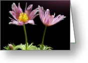 Pasqueflower Greeting Cards - Two Pasque Flowers Greeting Card by Gitpix
