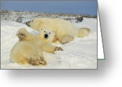 Ursus Maritimus Greeting Cards - Two polar bears lounging Greeting Card by Norbert Rosing