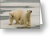 Polar Bear Greeting Cards - Two Polar Bears Stand On A Piece Of Ice Greeting Card by Norbert Rosing