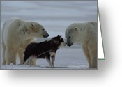 Weather Photographs Greeting Cards - Two Polar Bears Ursus Maritimus Greeting Card by Norbert Rosing