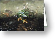 Red-eyed Frogs Greeting Cards - Two Red-eyed Tree Frogs, Agalychnis Greeting Card by Bill Curtsinger