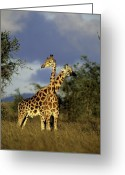 Uganda Greeting Cards - Two Rothschild Giraffes In Kidepo Greeting Card by David Pluth