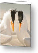 Tern Greeting Cards - Two Royal Terns Greeting Card by Jimgrayimages.com