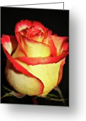 Single Rose Greeting Cards - Two Tone Rose Greeting Card by Cathie Tyler