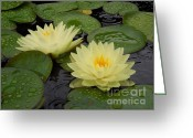 Lily Pad Greeting Cards Greeting Cards - Two Water Lilies In The Rain Greeting Card by Chad and Stacey Hall