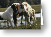 Wild Horses Greeting Cards - Two Wild Pony Foals Interacting Greeting Card by James L. Stanfield