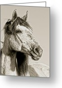 Wild Horse Greeting Cards - Unbroken Greeting Card by Ron  McGinnis