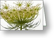 Curved Lines Greeting Cards - Under Queen Annes Lace Greeting Card by Christi Kraft