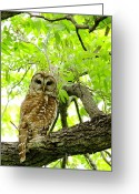 Barred Owl Greeting Cards - Under The Canopy Greeting Card by Robert Frederick