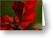 Canna Greeting Cards - Under the Red Canna Greeting Card by Jean Booth