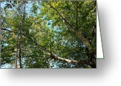 Autumn Scenes Greeting Cards - Under the spreading branches of a Birch Tree Greeting Card by Jim Sauchyn