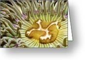 Anemone  Greeting Cards - Under Water Anemone Greeting Card by Lucidio Studio, Inc.
