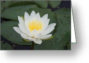 Lilly Pad Greeting Cards - Understated Greeting Card by Brook Steed