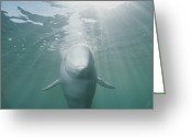 Beluga Greeting Cards - Underwater Portrait Of A Beluga Whale Greeting Card by Brian J. Skerry