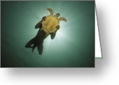 Oceans And Seas Greeting Cards - Underwater View Of Swimmer And Turtle Greeting Card by Nicolas Reynard