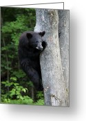 Black Bear Climbing Tree Greeting Cards - Up a Tree Greeting Card by Janara  Hoppock