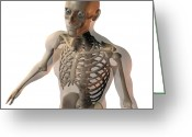 Upper Body Greeting Cards - Upper Body Bones Greeting Card by Friedrich Saurer