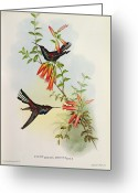 Feeding Painting Greeting Cards - Urochroa Bougieri Greeting Card by John Gould 