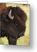 Head Of State Greeting Cards - Usa, South Dakota, American Bison (bison Bison) In Custer State Park, Headshot Greeting Card by Tetra Images