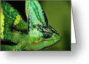 Wild Lizard Greeting Cards - Veiled Chameleon Greeting Card by Copyright By D.teil