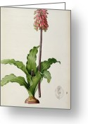 Redoute Greeting Cards - Veltheimia Capensis Greeting Card by Pierre Joseph Redoute