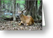 White Tailed Deer Greeting Cards - Velvet Buck at rest  Greeting Card by Paul Ward