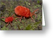 African Animals Greeting Cards - Velvet Mite Pair Madagascar Greeting Card by Piotr Naskrecki