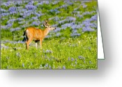 Antlers Greeting Cards - Velvet on Lupine Greeting Card by Mike  Dawson