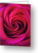Flowers Greeting Cards Greeting Cards - Velvet Rose Greeting Card by Kathy Yates