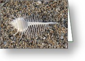 Seashell Art Greeting Cards - Venus Comb Seashell Greeting Card by Daniel Goodwin