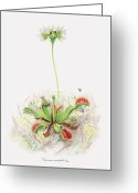 Framed Prints Drawings Greeting Cards - Venus Fly Trap  Greeting Card by Scott Bennett