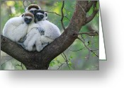 Berenty Private Reserve Greeting Cards - Verreauxs Sifaka Propithecus Verreauxi Greeting Card by Cyril Ruoso