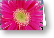 Gerber Greeting Cards - Vibrant Pink Gerber Daisy Greeting Card by Amy Fose