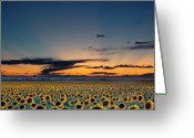 "\""sunset Photography\\\"" Greeting Cards - Vibrant Sunflower Field In Colorado Greeting Card by Victoria Chen"