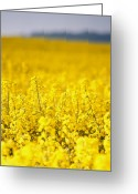 Rape Greeting Cards - View Of A Field Of Rape, Brassica Napus, In Flower Greeting Card by Tek Image