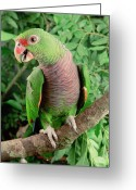 Amazon Parrot Greeting Cards - Vinaceous-breasted Parrot Amazona Greeting Card by Claus Meyer