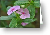 Vinca Flowers Greeting Cards - Vinca Rosea Greeting Card by Sajjad Musavi