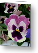 Viola Tricolor Greeting Cards - Viola Tricolor Hortensis Greeting Card by Ron Javorsky