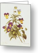 Floral Drawings Greeting Cards - Viola Tricolour  Greeting Card by Pierre Joseph Redoute