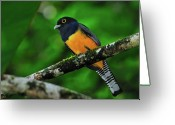 Tony Greeting Cards - Violaceous Trogon Greeting Card by Tony Beck