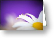 Custom Art Photo Greeting Cards - Violet Daisy Dreams Greeting Card by Lisa Knechtel