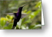Colorful Birds Photo Greeting Cards - Violet Sabrewing at Cielito Sur Greeting Card by Heiko Koehrer-Wagner