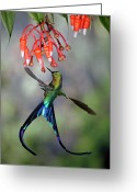 Andes Greeting Cards - Violet-tailed Sylph Aglaiocercus Greeting Card by Michael & Patricia Fogden