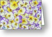 Large Group Greeting Cards - Violet Viola Sp Flowers In White Greeting Card by Jan Vermeer