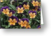 Sorbet Greeting Cards - Violets Greeting Card by Archie Young