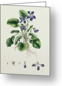 Purples Greeting Cards - Violets Greeting Card by English School