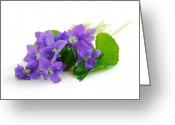 Sweet Greeting Cards - Violets on white background Greeting Card by Elena Elisseeva